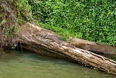 Sötvattens- krokodil i Barron River arkivfoto