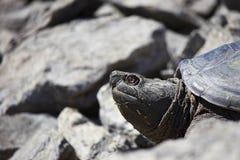 Sötvattens- låsande fast sköldpadda Royaltyfri Bild