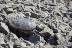 Sötvattens- låsande fast sköldpadda Arkivfoton