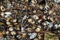 Sötvattens- musslor, vatten- tvåskaligt skaldjurmulluscsunionoida arkivbild