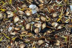 Sötvattens- musslor, vatten- tvåskaligt skaldjurmulluscsunionoida arkivfoto