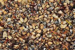 Sötvattens- musslor, vatten- tvåskaligt skaldjurmulluscsunionoida arkivbilder