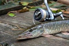 Sötvattens- pik- och för fiskeutrustning lögner på träbakgrund Royaltyfri Fotografi