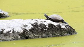 Sötvattens- värma sig för sköldpadda eller för sumpsköldpadda av solen vaggar på i vatten som har algblom att bevattna grön ytter arkivfilmer