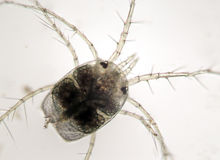 Sötvattens- zooplankton Decapodavattenkvalster Hydrachnidae Arkivbilder