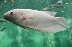 Sötvattensfisk i akvarium Royaltyfri Bild