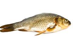 Sötvattensfiskcarp Royaltyfri Bild