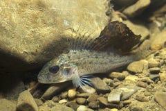 SötvattensfiskRuffe Gymnocephalus cernuus i det härliga rena pundet Undervattens- fotografi i flodlivsmiljön wild livstid royaltyfria foton