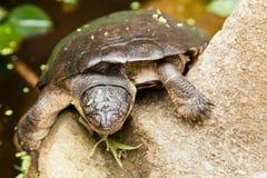 Sötvattensköldpadda Royaltyfri Foto