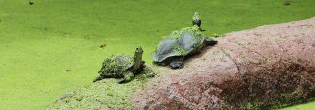 Sötvattensköldpadda Royaltyfri Bild