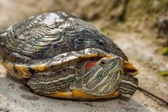 Sötvattensköldpadda Royaltyfria Bilder
