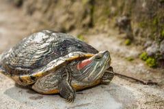 Sötvattensköldpadda Royaltyfri Fotografi