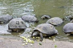 Sötvattensköldpaddor som äter gurkan Royaltyfria Foton
