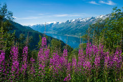 The Sørfjord with flowers in the foreground. Norway Royalty Free Stock Photography