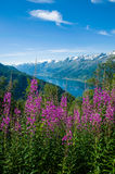 The Sørfjord with flowers in the foreground Royalty Free Stock Photo