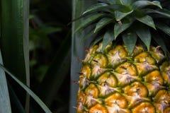 Süße Ananas gepflanzt im Garten Lizenzfreie Stockfotos
