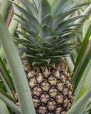 Süße Ananas gepflanzt im Garten Stockbild