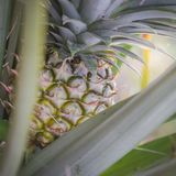Süße Ananas gepflanzt im Garten Lizenzfreies Stockfoto