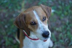 Süße Augen des Haustieres - Spürhundmischung Stockfotografie