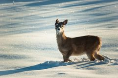 Süße Babyrotwild im Schnee Stockfoto