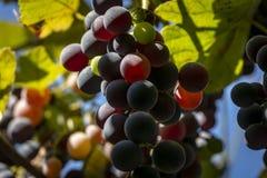 Süße blaue Trauben Isabella auf einem unscharfen Hintergrund Sonniger Tag lizenzfreie stockbilder