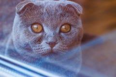 Süße britische Katze mit großer offener bernsteinfarbiger Augenansicht vom Fenster lizenzfreie stockfotografie
