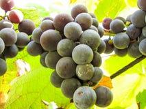 Süße dunkelblaue Trauben auf einem Weinstock Stockfotos