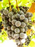 Süße dunkelblaue Trauben auf einem Weinstock Lizenzfreie Stockfotografie