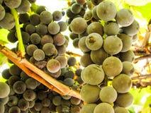 Süße dunkelblaue Trauben auf einem Weinstock Stockbilder