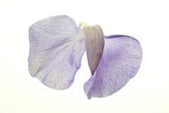 Süße Erbsen-Blüte auf Weiß Stockfoto