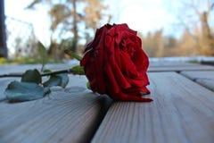 Süße Farbe der Rotrosen-Blume auf Boden draußen lizenzfreie stockfotos