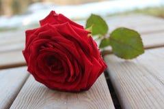 Süße Farbe der Rotrosen-Blume auf Woche draußen lizenzfreies stockbild