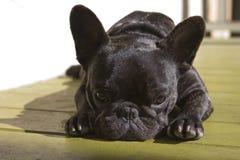 Süße französische Bulldogge Stockfoto