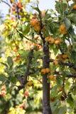 Süße Frucht auf dem Baum Eriobotrya japonica Stockfoto