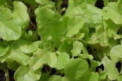 Süße Gartengrün-Kopfsalatsämlinge Lizenzfreies Stockbild