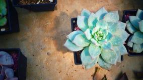 Süße grüne Blumenblätter von Succulents stiegen in Topf auf konkretem Hintergrund, Weinleseton für Innenausstattung Stockfotografie