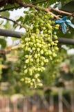 Süße grüne Trauben frisch vom Bauernhof auf dem Berg Lizenzfreies Stockbild