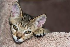 Süße Kitten Face Close Up Lizenzfreies Stockfoto
