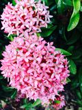 Süße Klingelnblume Stockbild