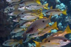 Süße Lippenfische Stockfotografie