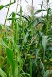 Süße Maiskörner Lizenzfreies Stockfoto