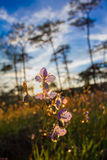 Süße purpurrote Blumen der Weichzeichnung und Kieferwald mit Sonnenuntergang beleuchten auf Phu Soi Dao National Park, Thailand Stockbilder