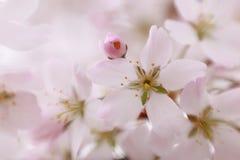 Süße rosa Apfelblüte Stockfotografie