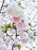 Süße rosa Kirschblüte Stockbilder