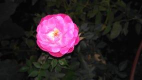Süße schöne Rosarose Stockbilder