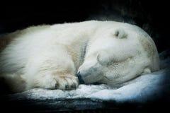 Süße Träume eines Eisbären, lokalisiert auf schwarzem Hintergrund Stockbilder
