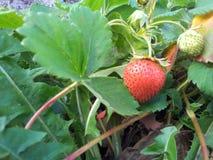 Süße und köstliche Erdbeeren Stockbild