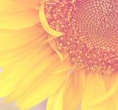 Süße und weiche Hälfte des Sonnenblumenhintergrundes Lizenzfreie Stockbilder