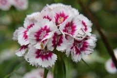 Süße William-Blume Stockfoto