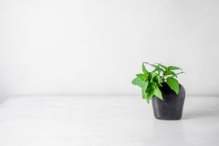 Süßer Basil Leaf im Vase u. in x28; Ocimum basilicum Linn& x29; Stockbilder